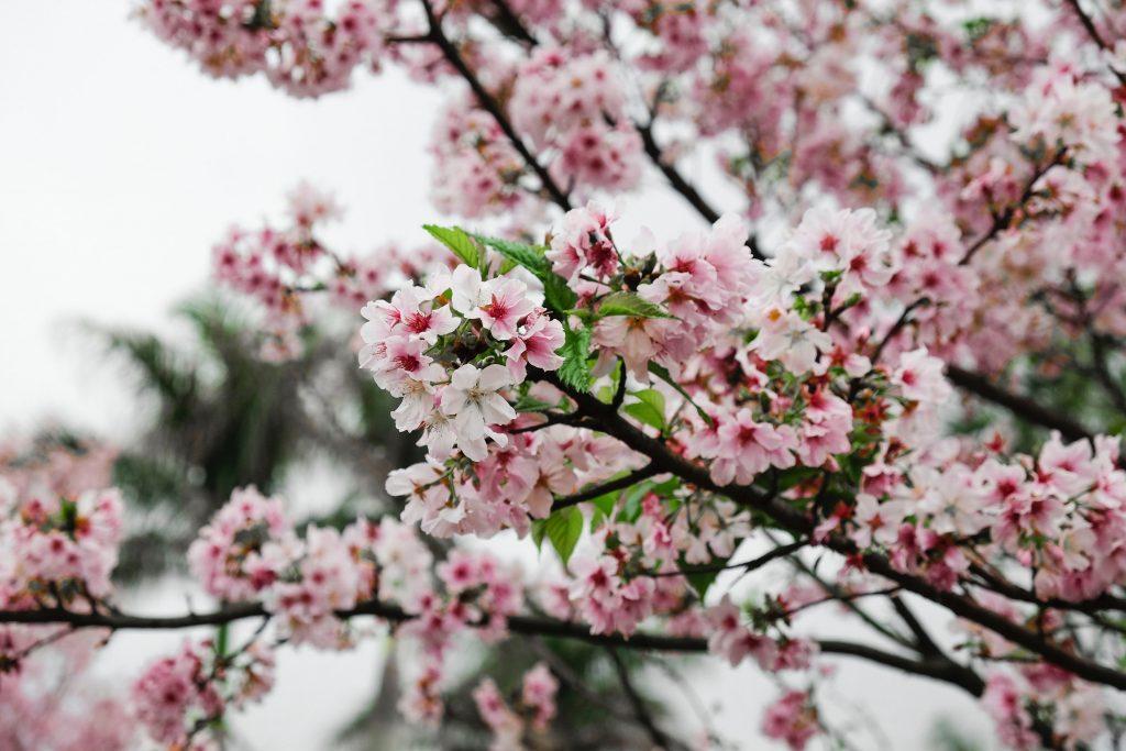 Cherry Blossoms in Washington D.C.